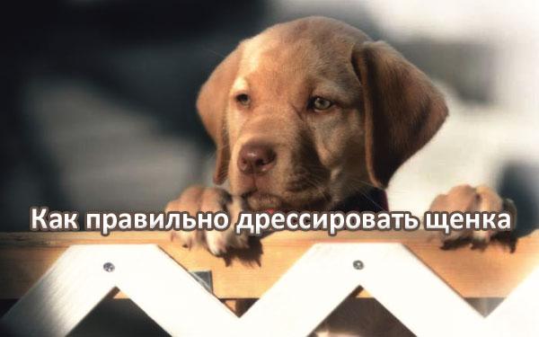 дрессировка щенков